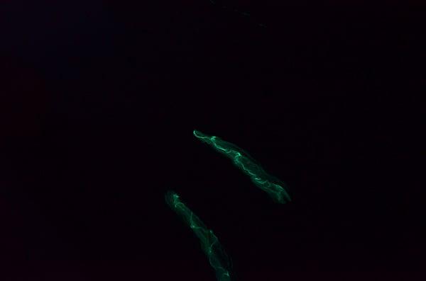 Bermuda glow worm